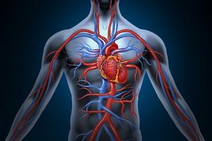 сердечно-сосудистоя система